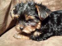 600$ each. I have two female 100% Yorkshire terrier
