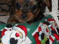 AKC Yorkie pups ready for Christmas. 2 females and 2