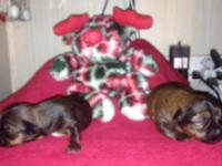 Yorkietzu Puppies CKC ,Tiny, Available for Christmas