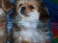 Yorkinese(Yorkie/Pekingese) Family raised in our home.