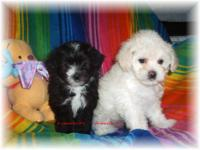 Yorkinese/poodle puppies. Mother is