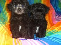 Yorkinese/poodle puppies. Mother is Yorkie/Pekingese