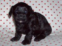Accepting deposit for a Yorkipoo male $450. He is black