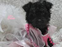 I have 1 lil female yorkipoo young puppy $600 approx. 6