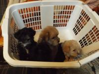 I HAVE 5 ADORABLE YORKIE-POO PUPPIES, 3 GIRLS & 2 BOYS,