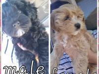 Yorkipoos pups for sale. Born March 30th and ready to