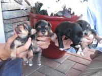 Selling beautiful, playful and healthy Yorkipoo puppies