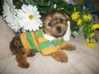 So tiny, cute and sweet! Yorkipoo (yorkie/poodle mix)