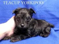 Teacup Yorkipoo. Teacup Male. D.O.B.: 8/31/2014.