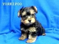 Teddy bear face Yorkipoo male. Toy Male. D.O.B.: