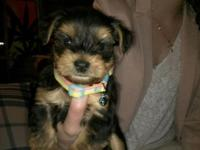 Super lovable pups for sale! Highly energetic and