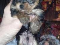 (1) Male Yorkie Pup ($800.00) and (1) Female Yorkie Pup