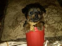 have purebred Yorkie 3 Female 1 Male puppies ready to