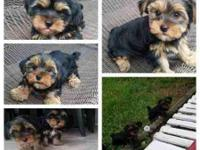 Beautiful teddy bear Yorkies babies. They are almost 9