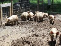 8 week old piglets, male and female, for sale for