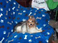 Kilo is a parti Yorkshire terrier male, he is a proven