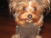 Beautiful male yorkie puppy, short legs. His tail has