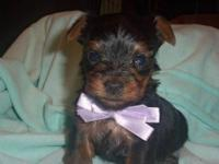 This beautiful baby Mico Yorkshire Terrier was welped