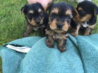 Adorable Purebred Yorkie Puppies. They will be ready