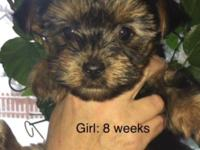 YORKIE PUPPIES... ONLY 1 GIRL AND 1 BOY LEFT!!!