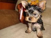 Tiny Yorkie Puppies For Adoption. Very Playful and
