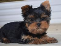 I have one Male Yorkie from this litter. He is a real
