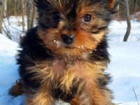 Adorable Yorkshire puppies of purebred,bred in the
