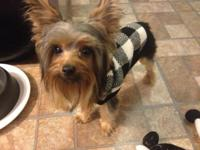 Yorkshire Terrier 7 months with colors of grey, brown,