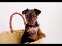 A male Yorkshire Terrier 9 weeks aged is all set to