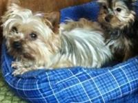 Adorable little Yorkie girl & her spayed mother $950