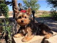 Absolutely Adorable AKC reg. Male Yorkie. Born 6/7/15