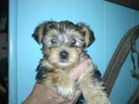 Beautiful AKC registered female Yorki. 10 weeks old.2