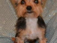 Romeo is a Tea ~ Cup Yorkshire Terrier and will
