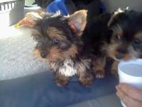 Beautiful AKC registered male Yorki. 12 weeks old. 3