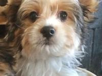 Gorgeous beautiful Parti Color Yorkie, AKC reg. Male.