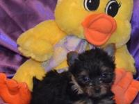 WE HAVE 2 MALE AKC YORKIE BABIES FOR SALE. THEY ARE