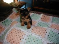 Yorkshire terrier pups: full blooded, males and