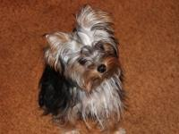 Yorkshire Terrier 3/4 looks almost purebred. Teeny Tiny