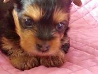 Beautiful Female Yorkie.Mom and Dad on premises. She