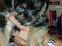 I have 2, 8 weeks old FULL BLOODED YORKIES. They were