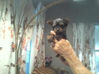 Yorkie 8wks old registered she has had 2 shots and