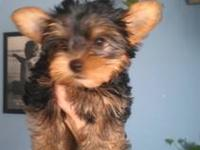 Hello... I have Yorkies and Morkies. They range from
