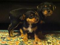 Adorable 2 female and 2 male Yorkshire Terrier puppies