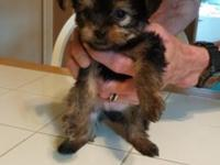I have two beautiful Yorkshire terrier & chihuahua mix