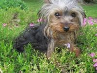 I have a 9 month old female Yorkshire Terrier. She's a