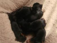 AKC Yorkshire Terriers. 5 little beautiful girls with
