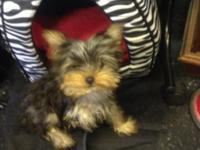 Female Yorkie Beautiful Yorkie Puppy Pee Pad Training