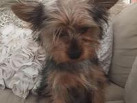 Female purebred, Yorkshire terrier, 15 weeks old, crate