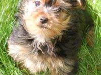 Adorable Yorkshire Terrier female puppy is ready for