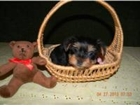 Yorkshire Terrier Puppies born August 18th. I have